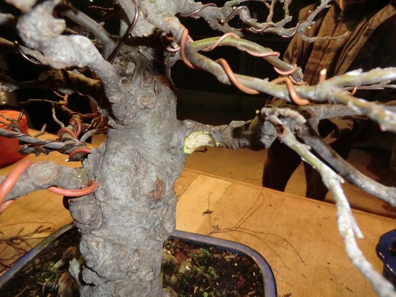 Piegatura di un grosso ramo al Bonsai Club Laudense Vuoto_10