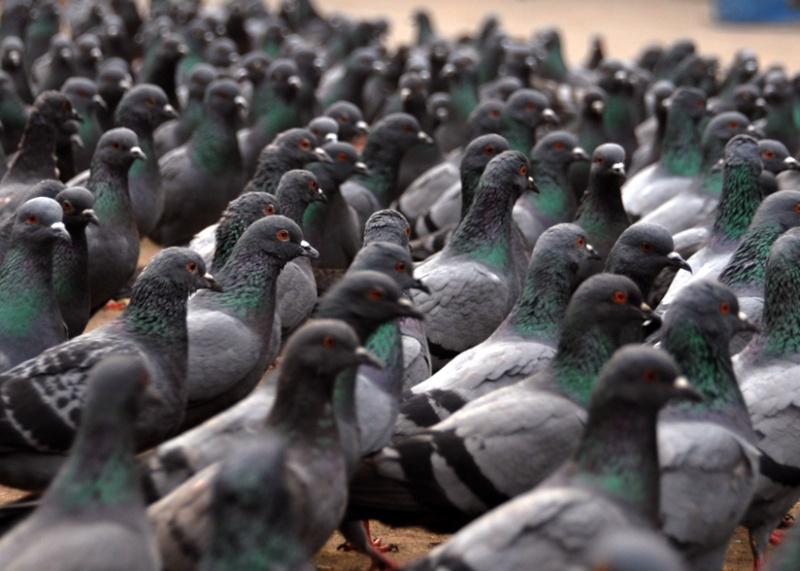 la piété Pigeon10