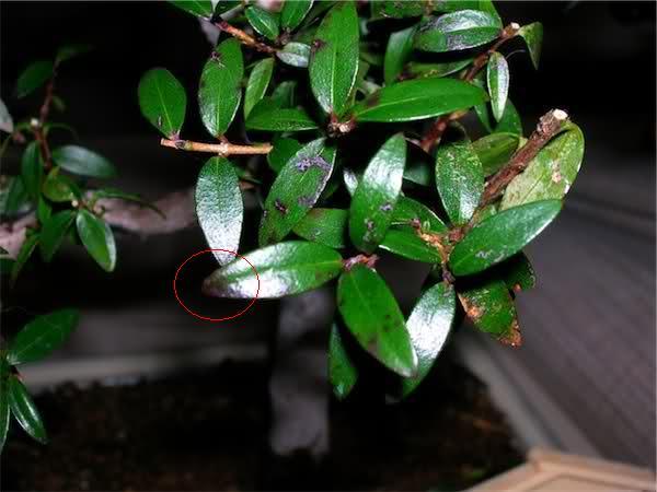 Macchie nere su foglie di Mirto 1grlg110