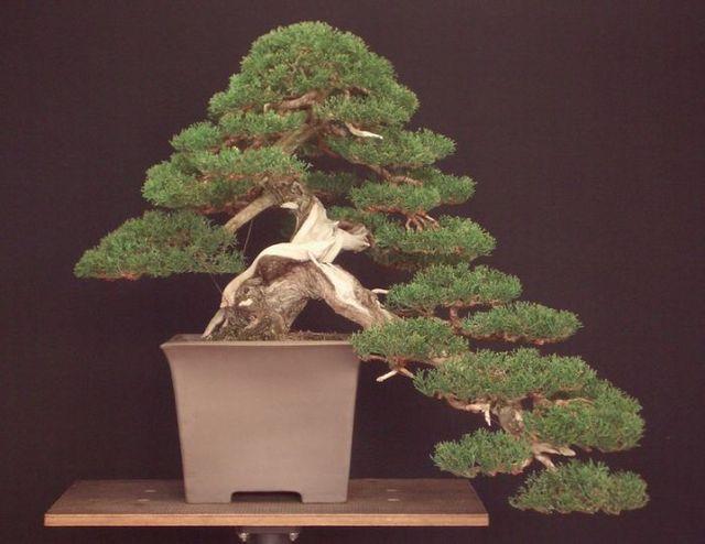 Juniperus Chinensis - Pagina 3 Goza-k10