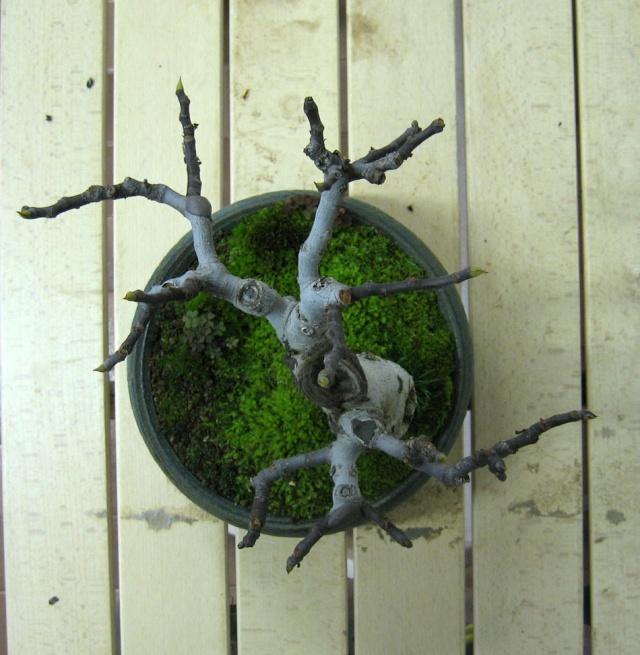 Ficus-Carica - Pagina 4 Img_5020