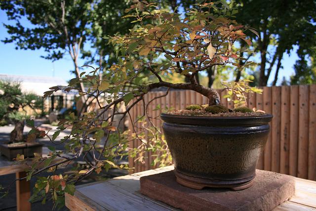 Rhus Trilobata - Autumn Amber Sumac 10028210