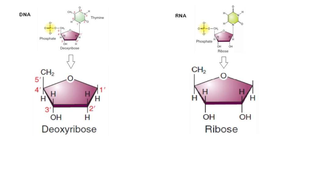 RNA & DNA: It's prebiotic synthesis: Impossible !!  1611