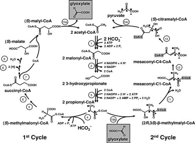 Carbon metabolism is the most basic aspect of life. 3-hydr10