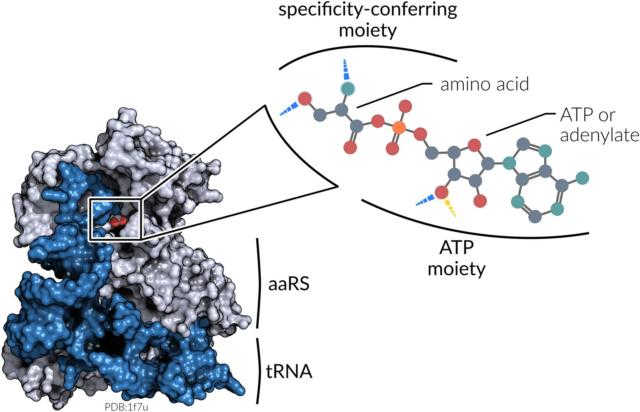 Aminoacyl-tRNA synthetases 41598_10