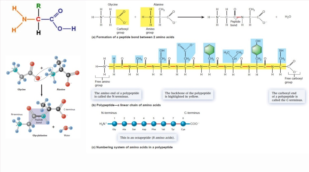Chemical evolution of amino acids and proteins ? Impossible !! 6812