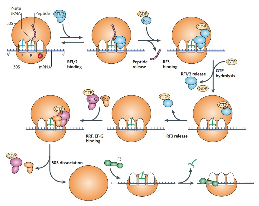 Translation through ribosomes,  amazing nano machines An_ove10