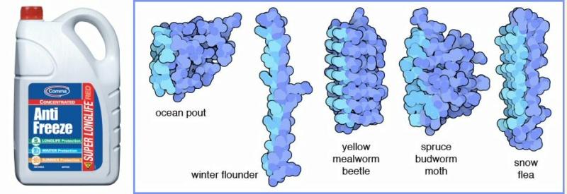 Antifreeze proteins: By evolution, or design?  Antifr10