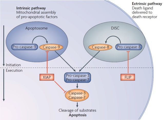 Apoptosis, Cell's essential mechanism of  programmed suicide points to design Apopto11