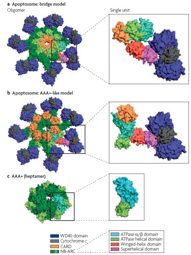 Apoptosis, Cell's essential mechanism of  programmed suicide points to design Apopto12