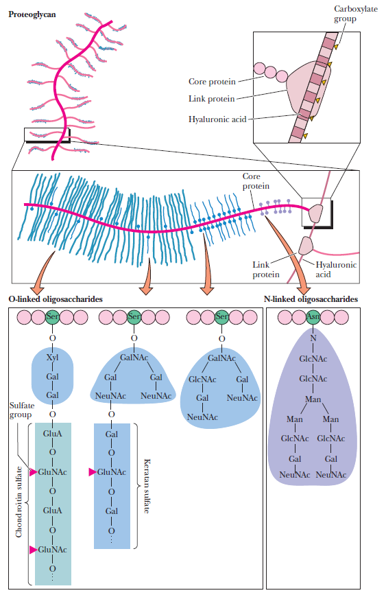 "Carbohydrates and glycobiology:  the ""3rd alphabet of life"" after DNA and proteins Cartil10"