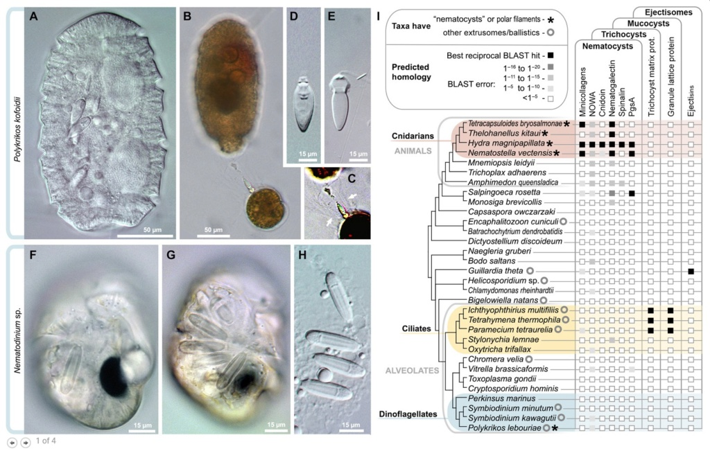 A dinoflagellate protist which has eyes like in vertebrates, and ballistic multi-barrel guns for taking out prey. By design, or evolution? Cnidar10