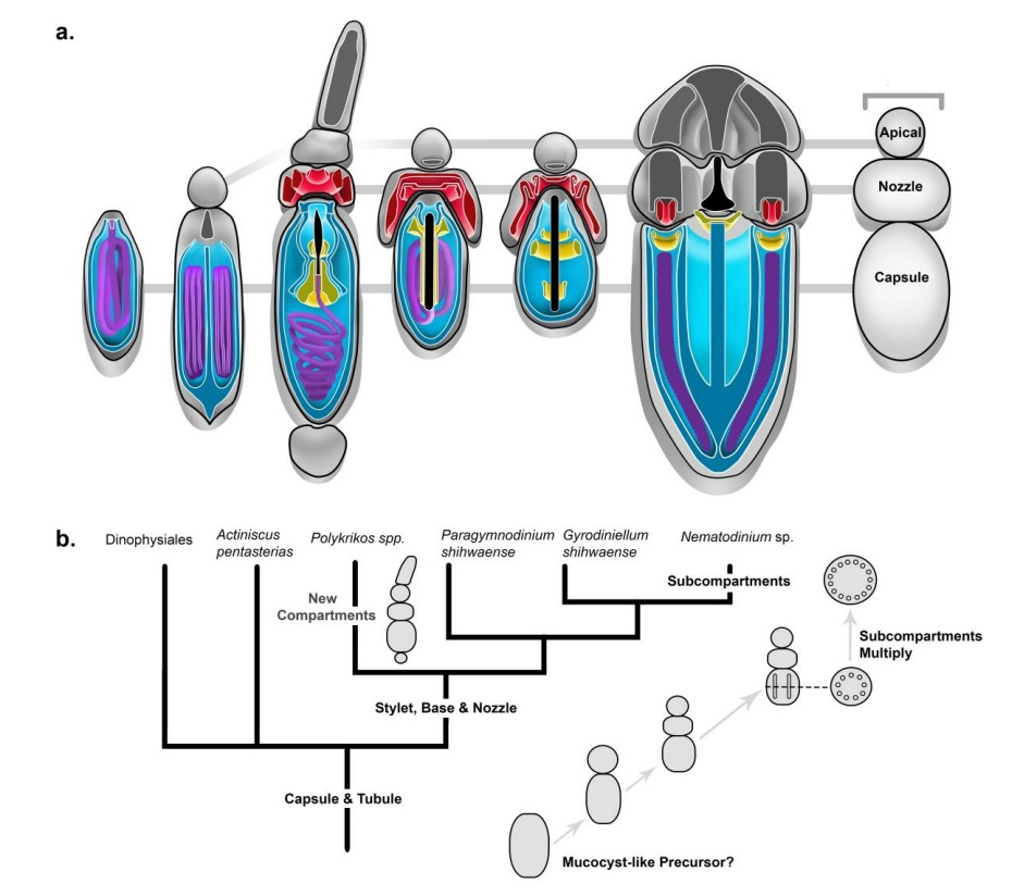 A dinoflagellate protist which has eyes like in vertebrates, and ballistic multi-barrel guns for taking out prey. By design, or evolution? Cnidar15