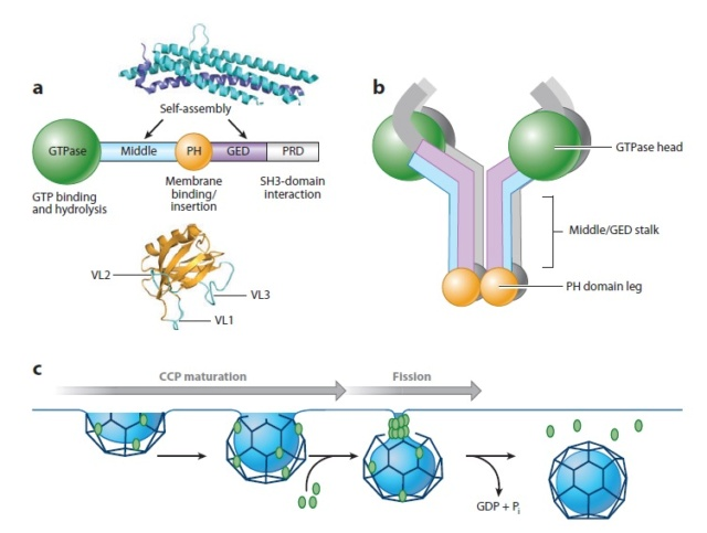 The boa constriction of the protein world: By evolution, or design? Dynami11