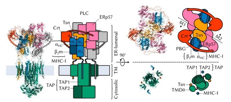 Molecular machines in biology E_mhc-10