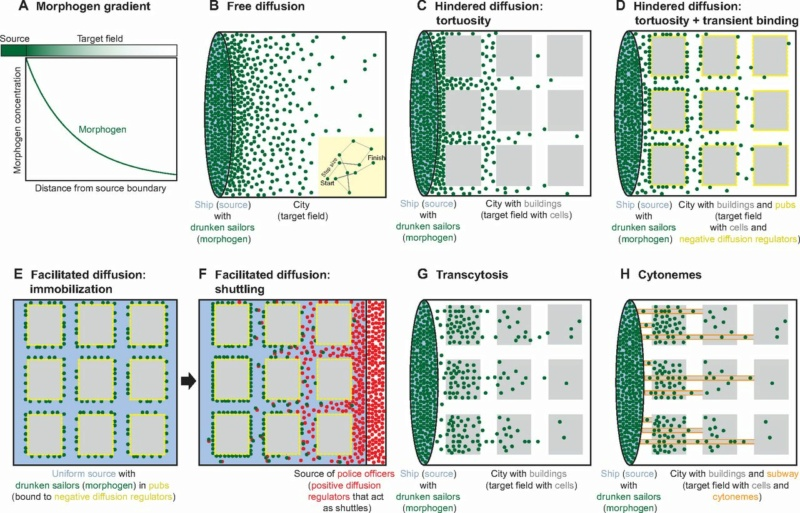 How does biological multicellular complexity and a spatially organized body plan emerge ?  F1_lar10