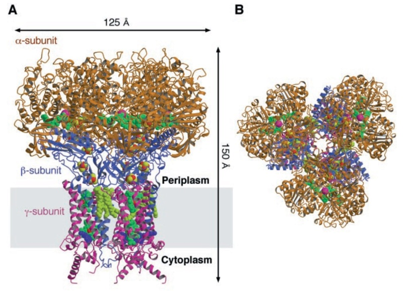 Proteins with molybdenum clusters, essential for life Fdh_n_13