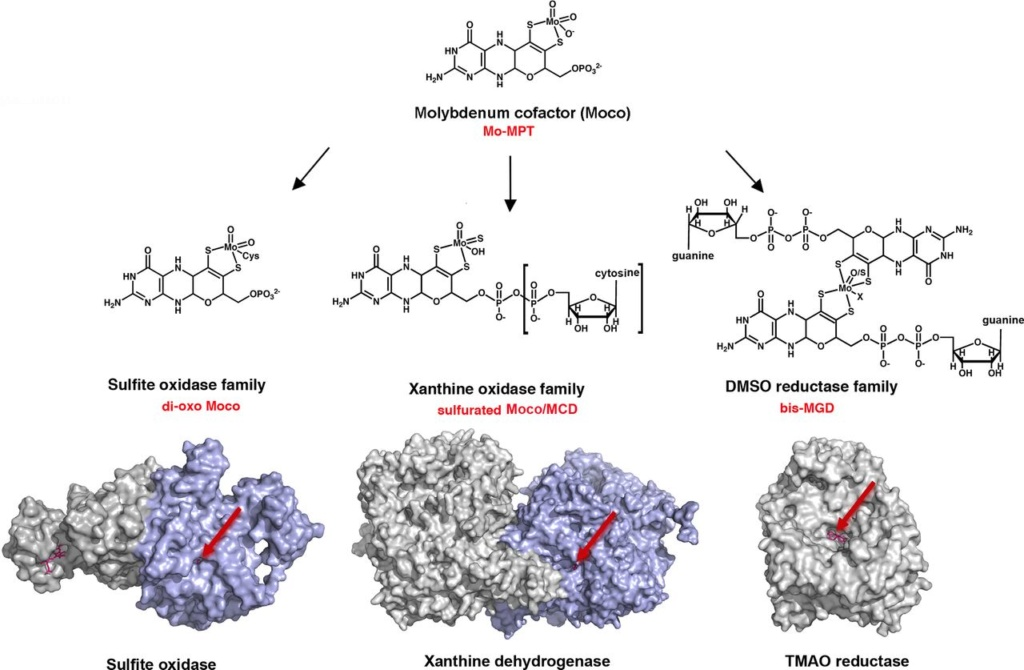 Proteins with molybdenum clusters, essential for life Fuv04311
