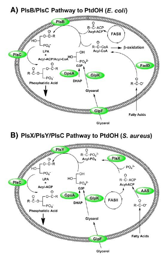 Fatty Acid and Phospholipid Biosynthesis in Prokaryotes Glycer11