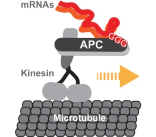 How messenger RNA's find their way to their destination, the Ribosome: Evidence of an intelligently designed set up Locali12