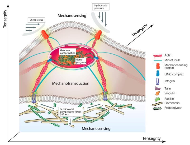 Mechanobiology - how it points to design Mechan10