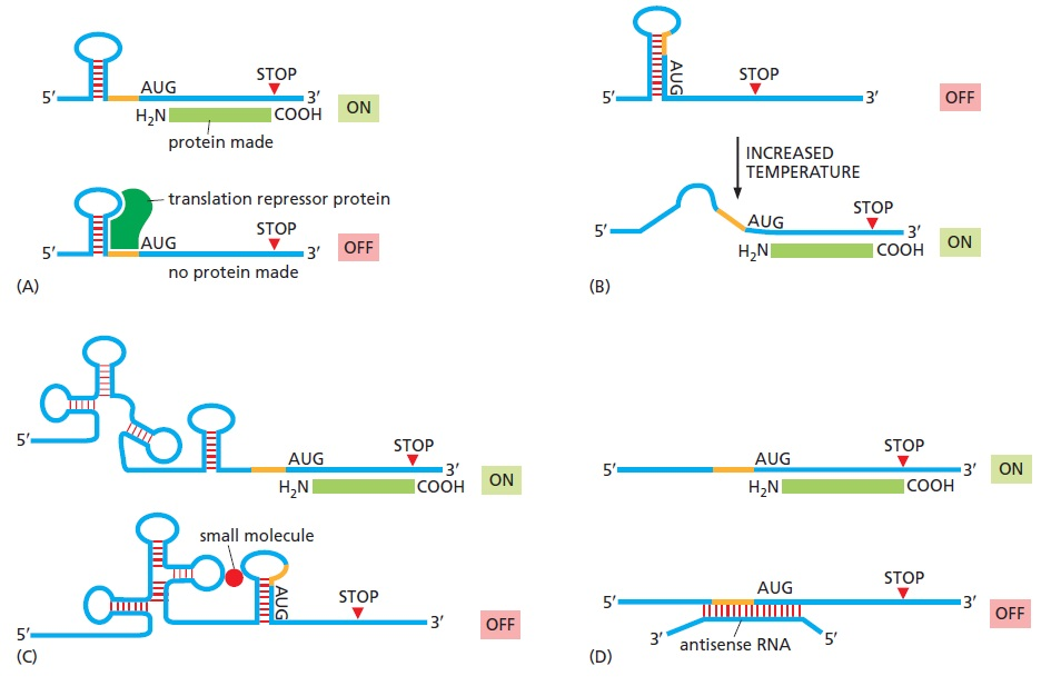 How messenger RNA's find their way to their destination, the Ribosome: Evidence of an intelligently designed set up Mechan11