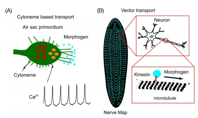 How does biological multicellular complexity and a spatially organized body plan emerge ?  Morpho10