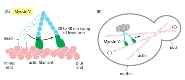 How does biological multicellular complexity and a spatially organized body plan emerge ?  Myosin12