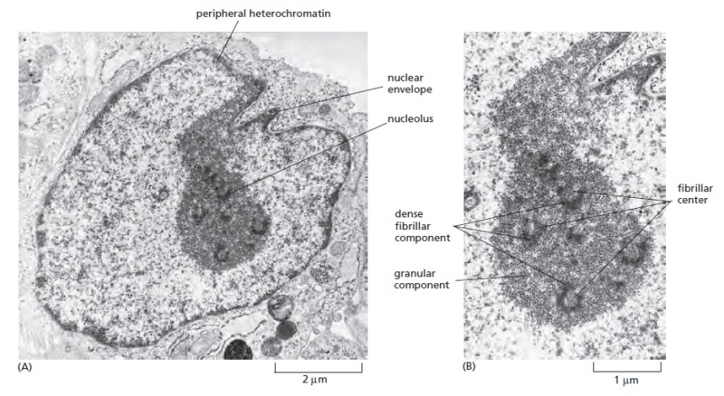 The Nucleolus a Ribosome producing factory Nucleo10