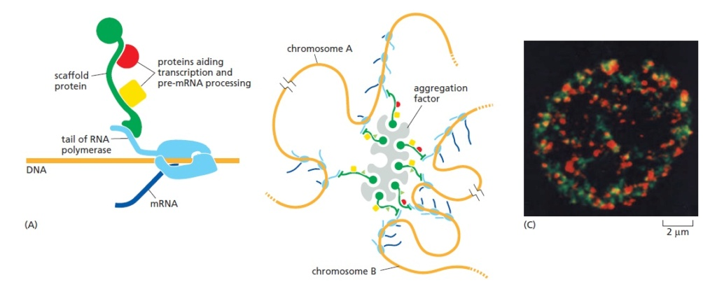The Nucleolus a Ribosome producing factory Nucleo15