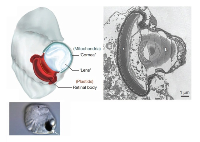 A dinoflagellate protist which has eyes like in vertebrates, and ballistic multi-barrel guns for taking out prey. By design, or evolution? Ocello10