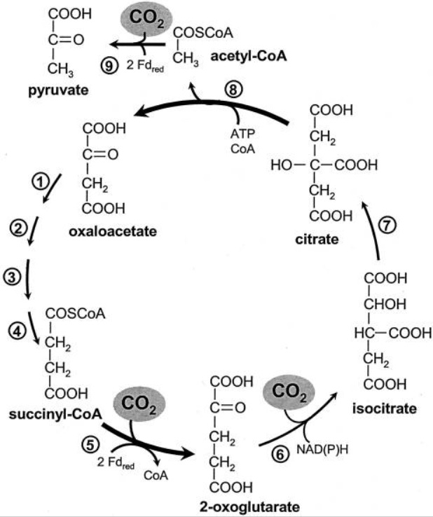 Carbon metabolism is the most basic aspect of life. Reduct12