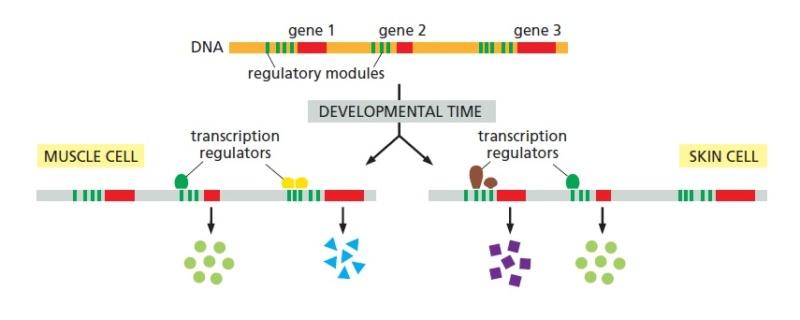 Gene regulatory elements during development Regula10