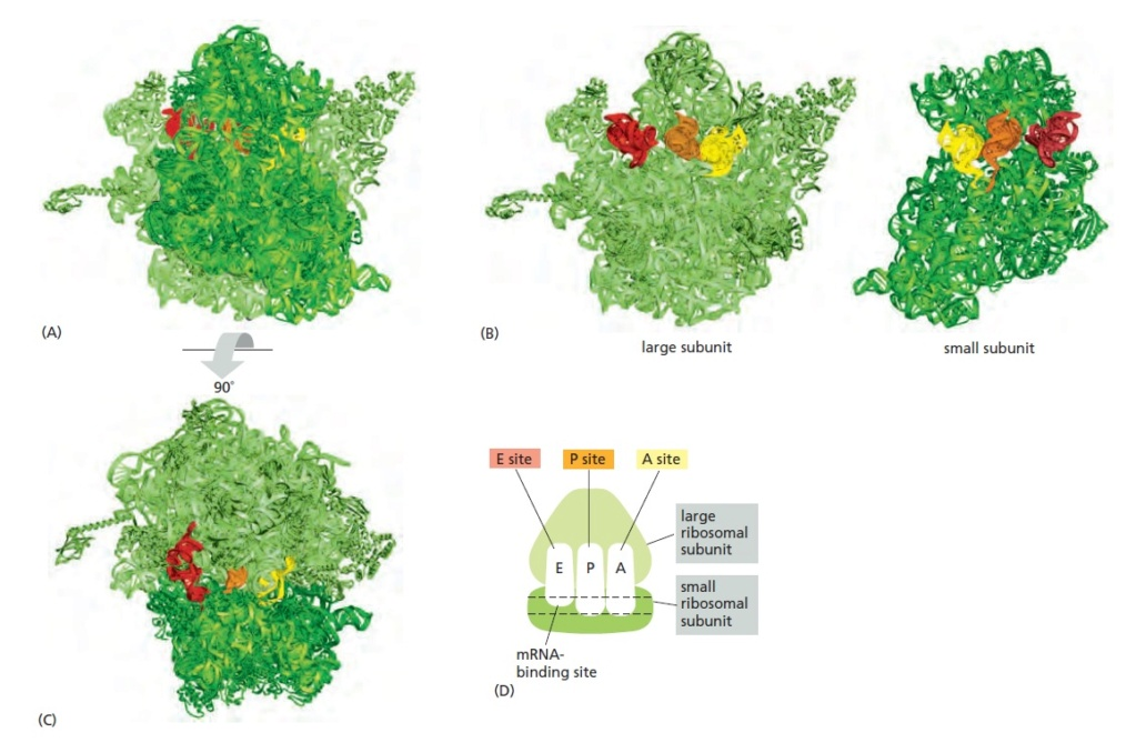 Translation through ribosomes,  amazing nano machines Riboso20