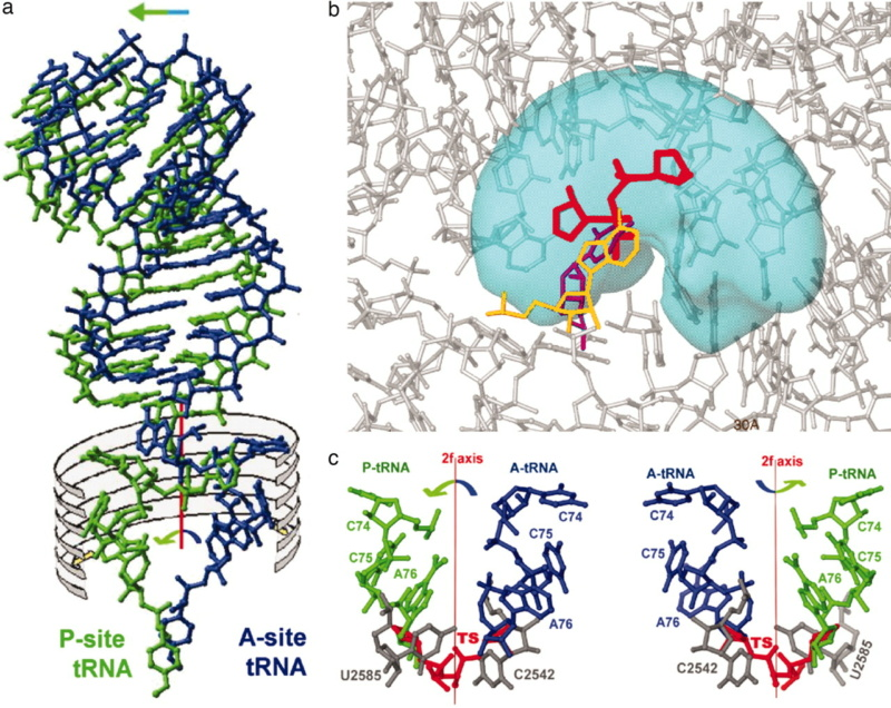 Translation through ribosomes,  amazing nano machines Riboso23