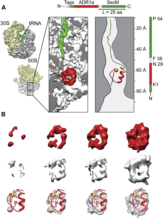 Translation through ribosomes,  amazing nano machines Riboso24