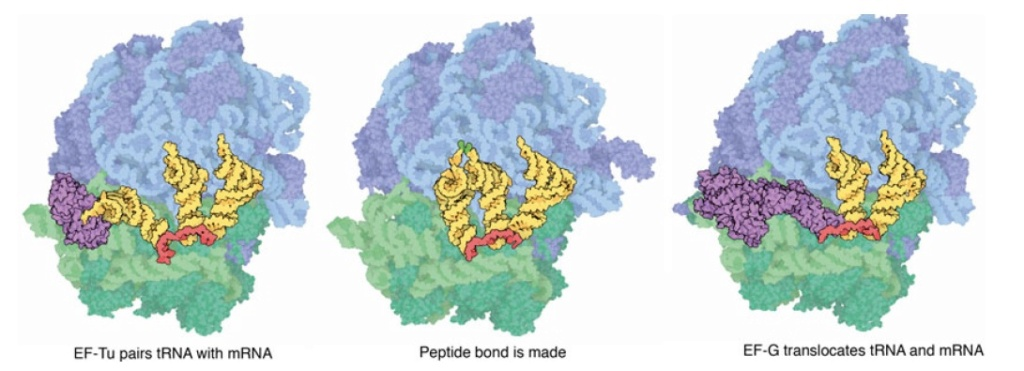 Translation through ribosomes,  amazing nano machines Riboso28