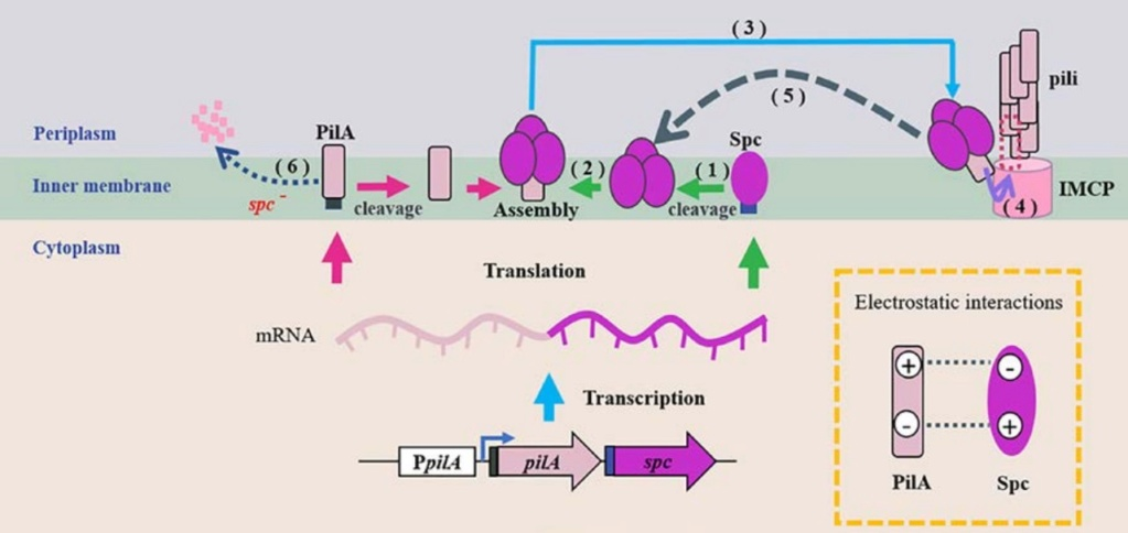 Electroactive bacteria  build electric wires all over the Globe, break down organic waste, and purify water ultrafast: Mindblowing !!  Sem_tz35
