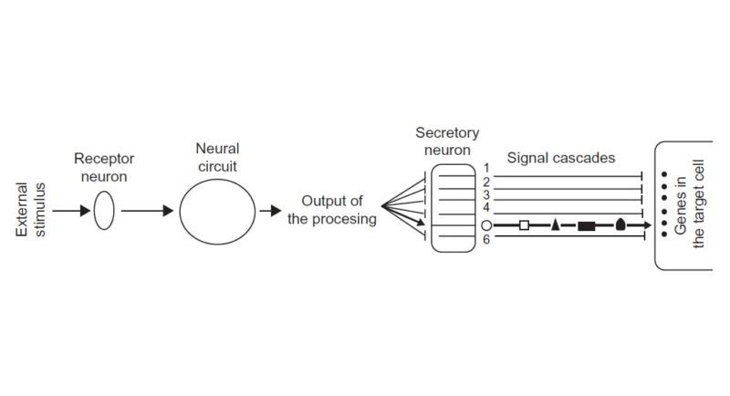 The central nervous system, essential for vertebrate development Simpli10