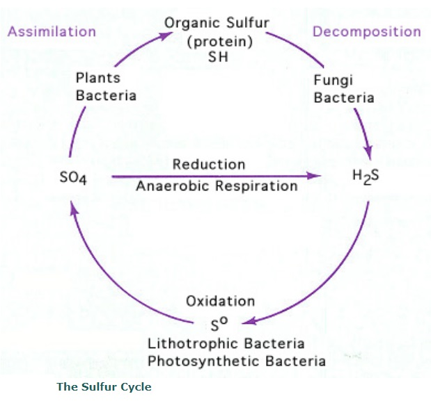 Sulfur and the Sulfur cycle, essential for life Sulfur10