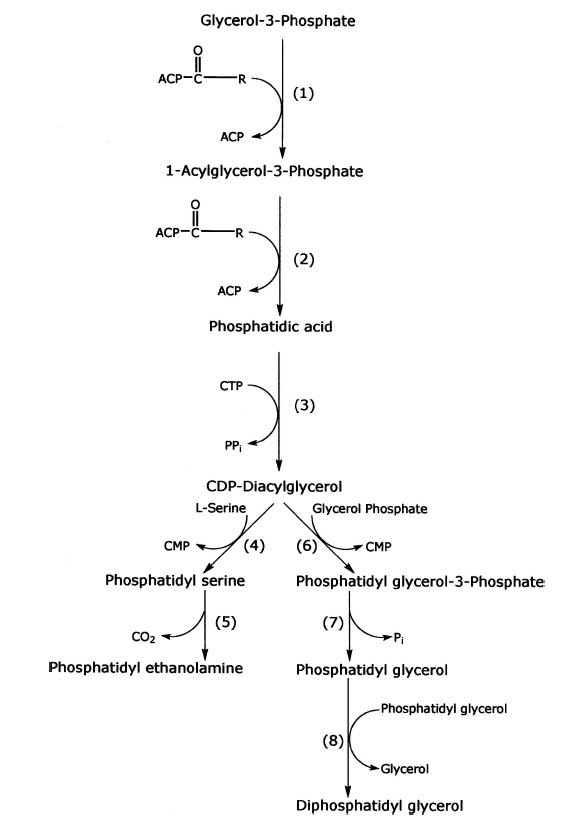 Fatty Acid and Phospholipid Biosynthesis in Prokaryotes Synthe10