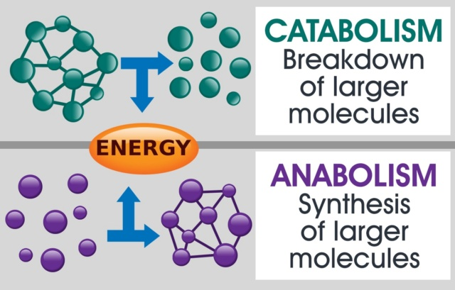 What emerged first, anabolism, or catabolism ?  Ted_it10