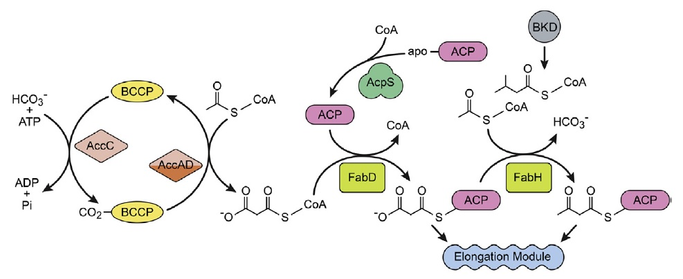 Fatty Acid and Phospholipid Biosynthesis in Prokaryotes The_in10