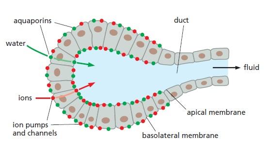 Aquaporins , amazing evidence of design The_ro10