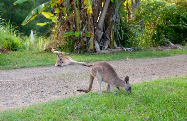 Australie: Un petit garçon perdu dit avoir survécu grâce à des kangourous Articl10