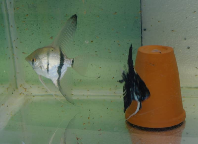 2 Proven Pairs & 1 Breeding pair FOR SALE Proven11