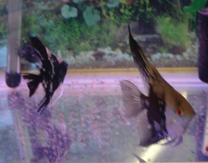 2 Proven Pairs & 1 Breeding pair FOR SALE Proven12