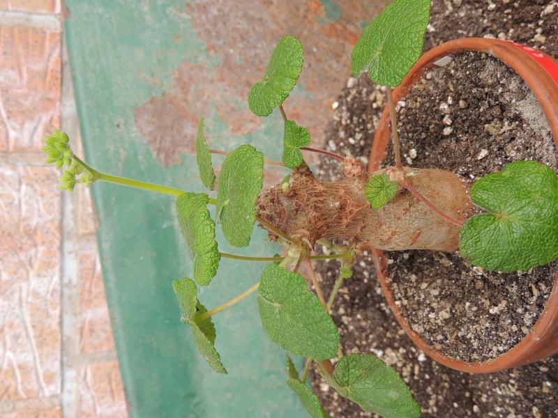Pelargonium mal en point Dscn0911