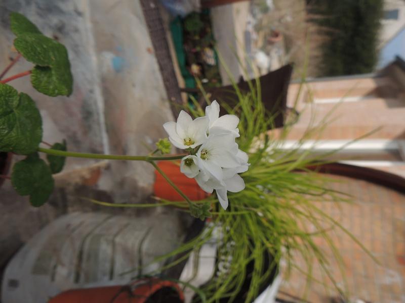 Pelargonium mal en point Dscn0912