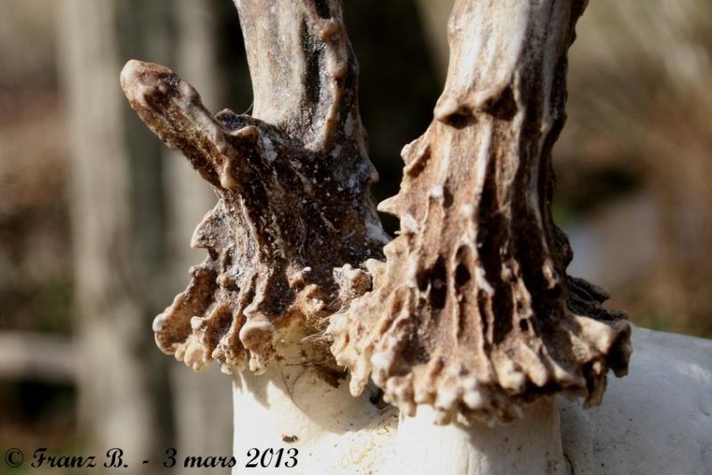 Mues de cerfs ou de chevreuils - Page 6 Img_2714